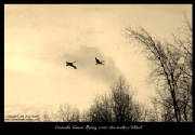 CA_Geese_turkey_blind_2011_sepia_bord_text.jpg