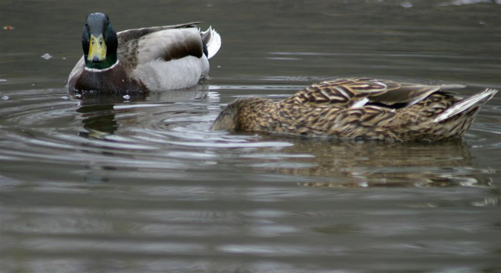 ducks_swimming.jpg